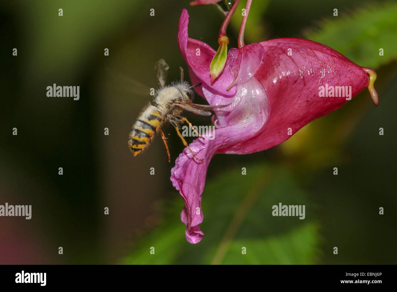 common wasp (Vespula vulgaris, Paravespula vulgaris), infected with mould, suckling nectar an a touch-me-not flower, - Stock Image