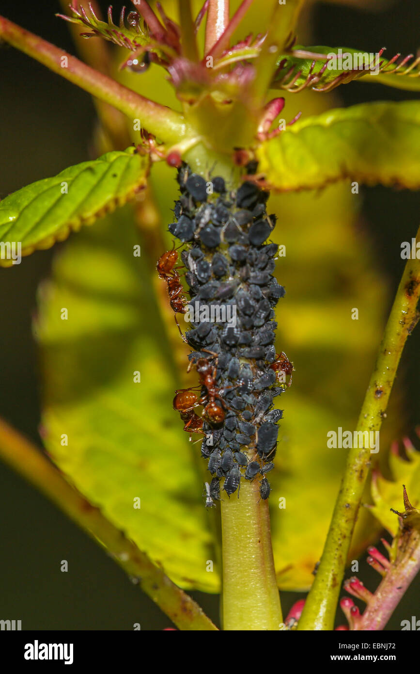 Aphid (Acyrthosiphon spec.), colony at touch-me-not milked by ants, Germany, Bavaria, Isental - Stock Image
