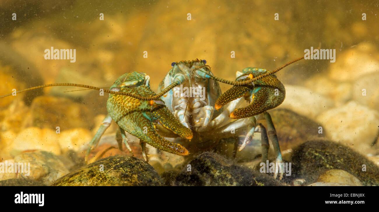 stone crayfish, torrent crayfish (Astacus torrentium, Austropotamobius torrentium, Potamobius torrentium), male - Stock Image
