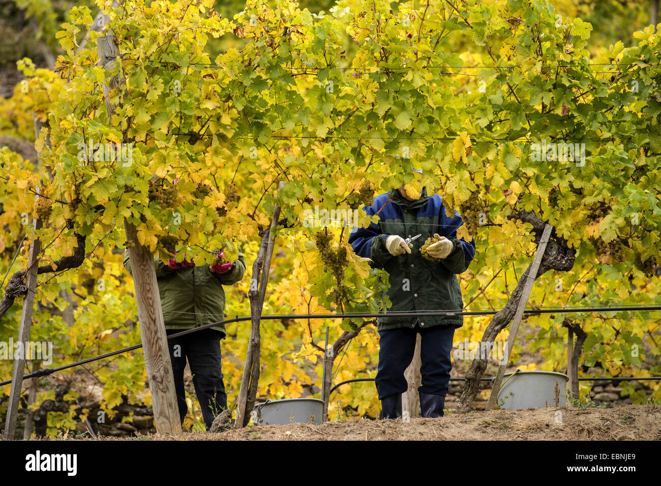 seasonal workers for the harvest of grapes at work, Austria, Lower Austria, Wachau - Stock Image