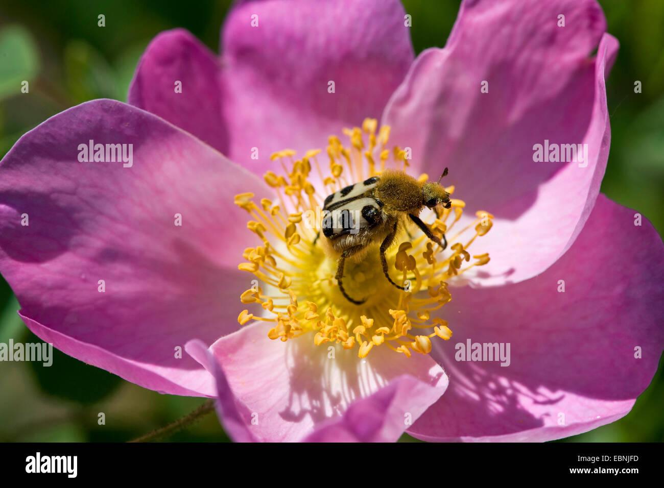 bee chafer, bee beetle (Trichius fasciatus), on Rosa gallica, Germany - Stock Image