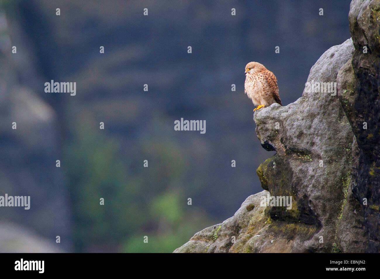 European Kestrel, Eurasian Kestrel, Old World Kestrel, Common Kestrel (Falco tinnunculus), on a rock in its habitat, - Stock Image
