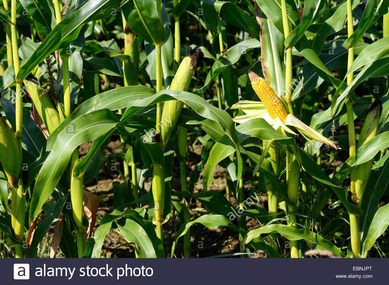 Indian corn, maize (Zea mays), maize field with corn cobs - Stock Image