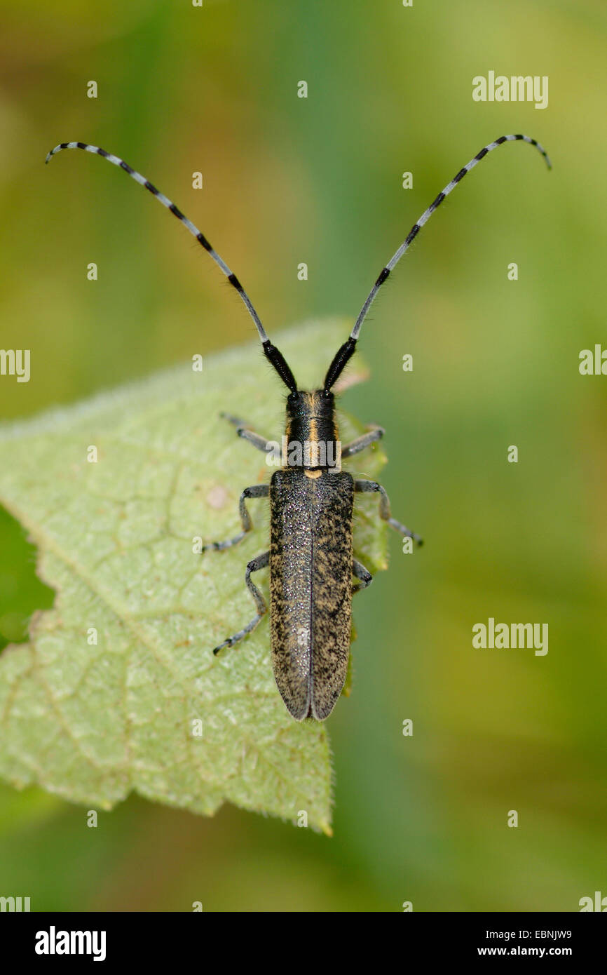 Thistle longhorn beetle, Flat-faces longhorn, Thistle longhorn beetle, Golden-bloomed Grey Longhorn (Agapanthia - Stock Image