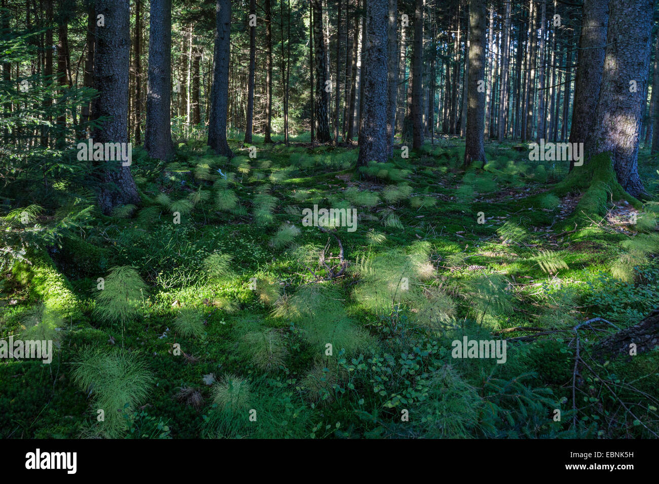 sylvan horsetail, wood horsetail, woodland horsetail (Equisetum sylvaticum), in a forest, Germany, Bavaria - Stock Image
