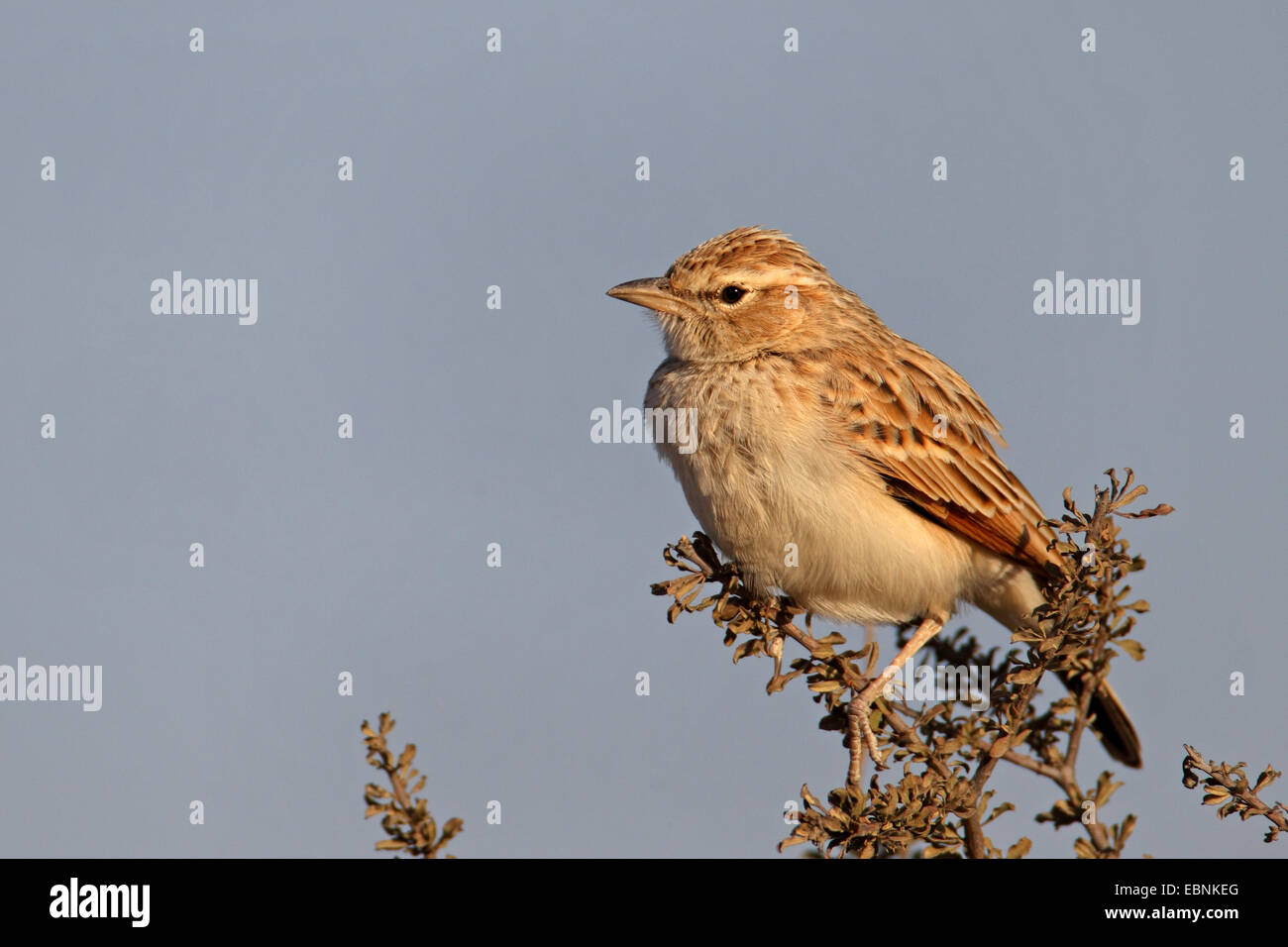 fawn-coloured lark (Mirafra africanoides), sitting on a bush, South Africa, Kgalagadi Transfrontier National Park - Stock Image