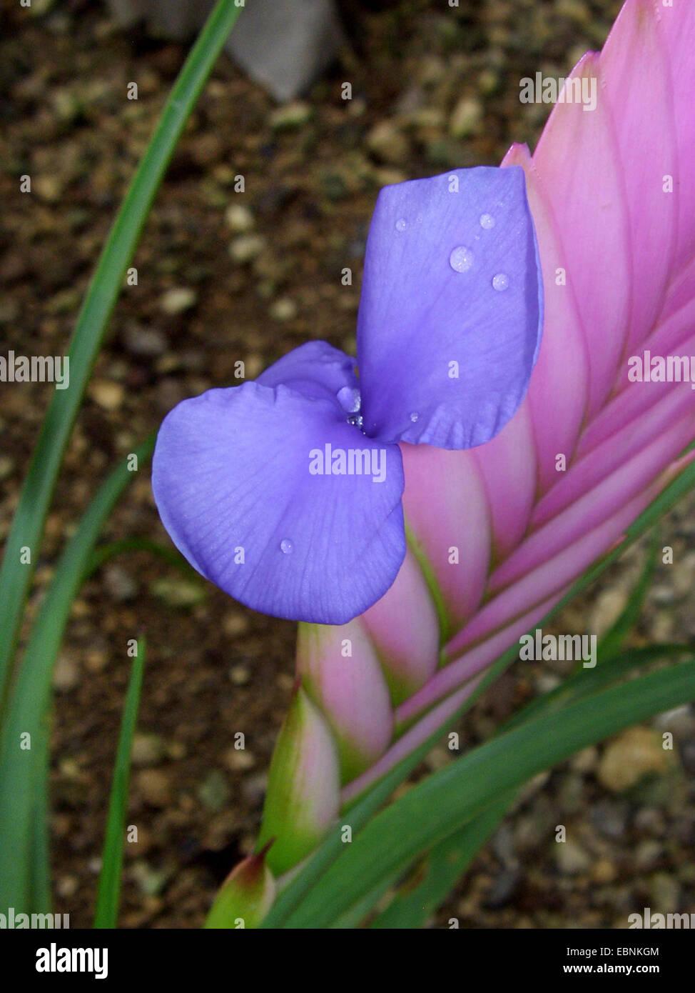 Tillandsia (Tillandsia cyanea), blooming - Stock Image