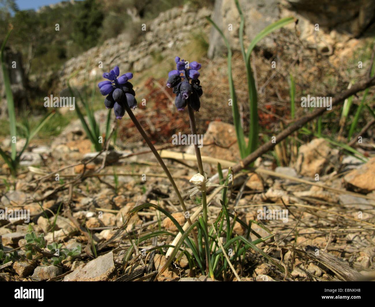 Grape hyacinth (Muscari neglectum, Muscari racemosum), blooming, with crab spider, Spain, Balearen, Majorca Stock Photo