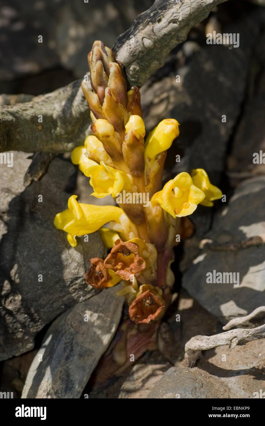 Yellow broomrape (Cistanche phelypaea), inflorescence, Portugal Stock Photo