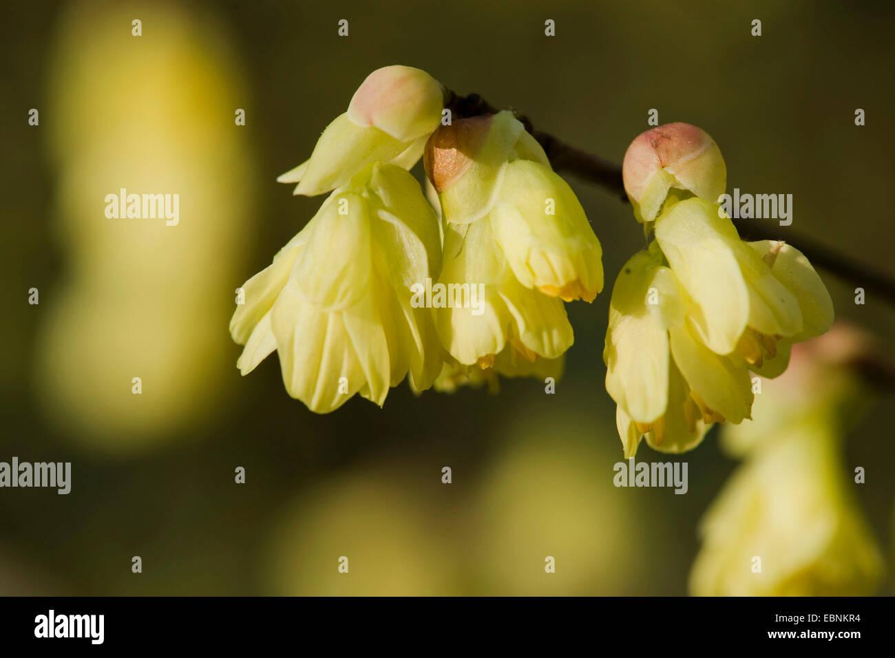 Buttercup Winter Hazel (Corylopsis pauciflora), blooming branch - Stock Image