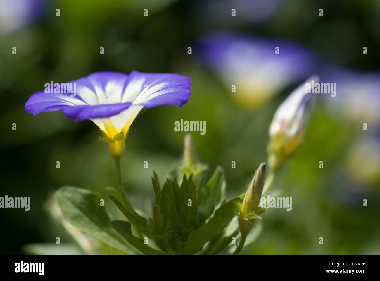 Dwarf convolvulus, Dwarf Morning Glory (Convolvulus tricolor), flowers - Stock Image