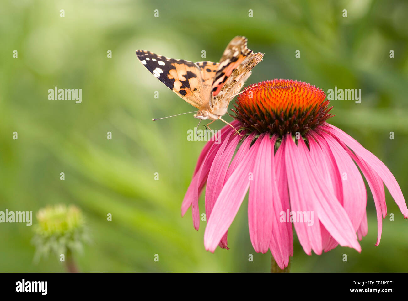 painted lady, thistle (Cynthia cardui, Vanessa cardui), sitiing on blooming eastern purple coneflower Stock Photo