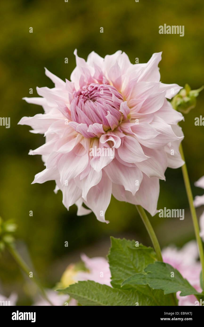 georgina (Dahlia 'Shiloh Noelle', Dahlia Shiloh Noelle), cultivar Shiloh Noelle - Stock Image