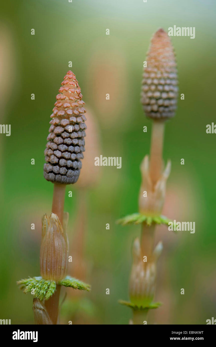 sylvan horsetail, wood horsetail, woodland horsetail (Equisetum sylvaticum), cones, Germany - Stock Image