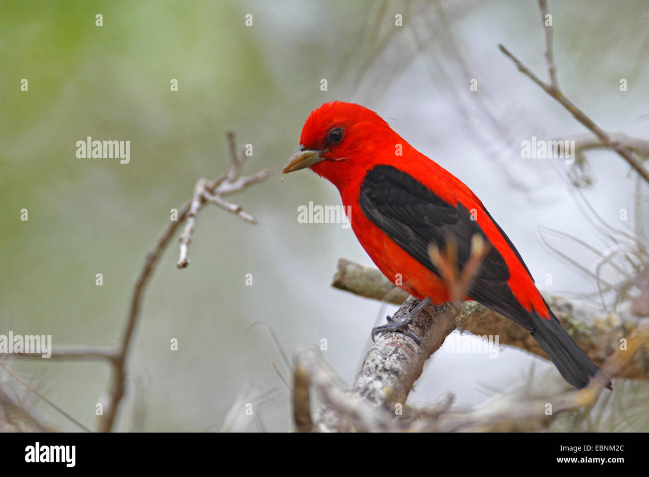 Scarlet tanager (Piranga olivacea), male sits in a tree, USA, Florida - Stock Image