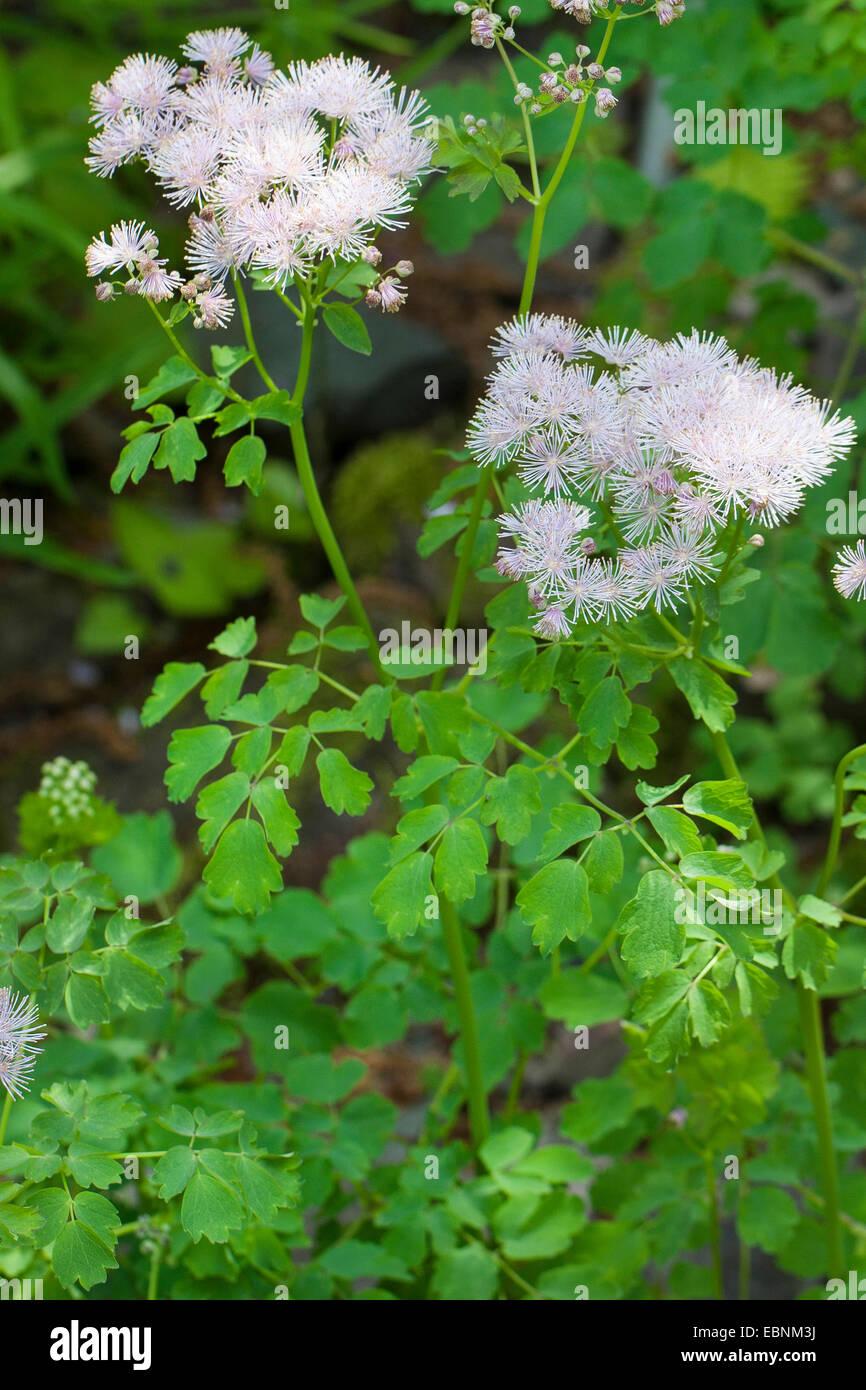 Greater meadow-rue, Columbine meadow-rue, French meadow-rue (Thalictrum aquilegiifolium), blooming, Germany - Stock Image