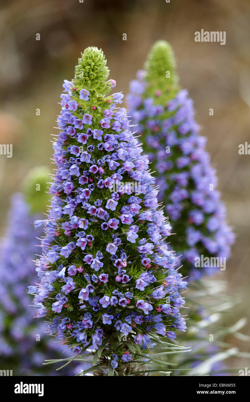 pride of Madeira (Echium candicans), inflorescence, Canary Islands, La Palma - Stock Image