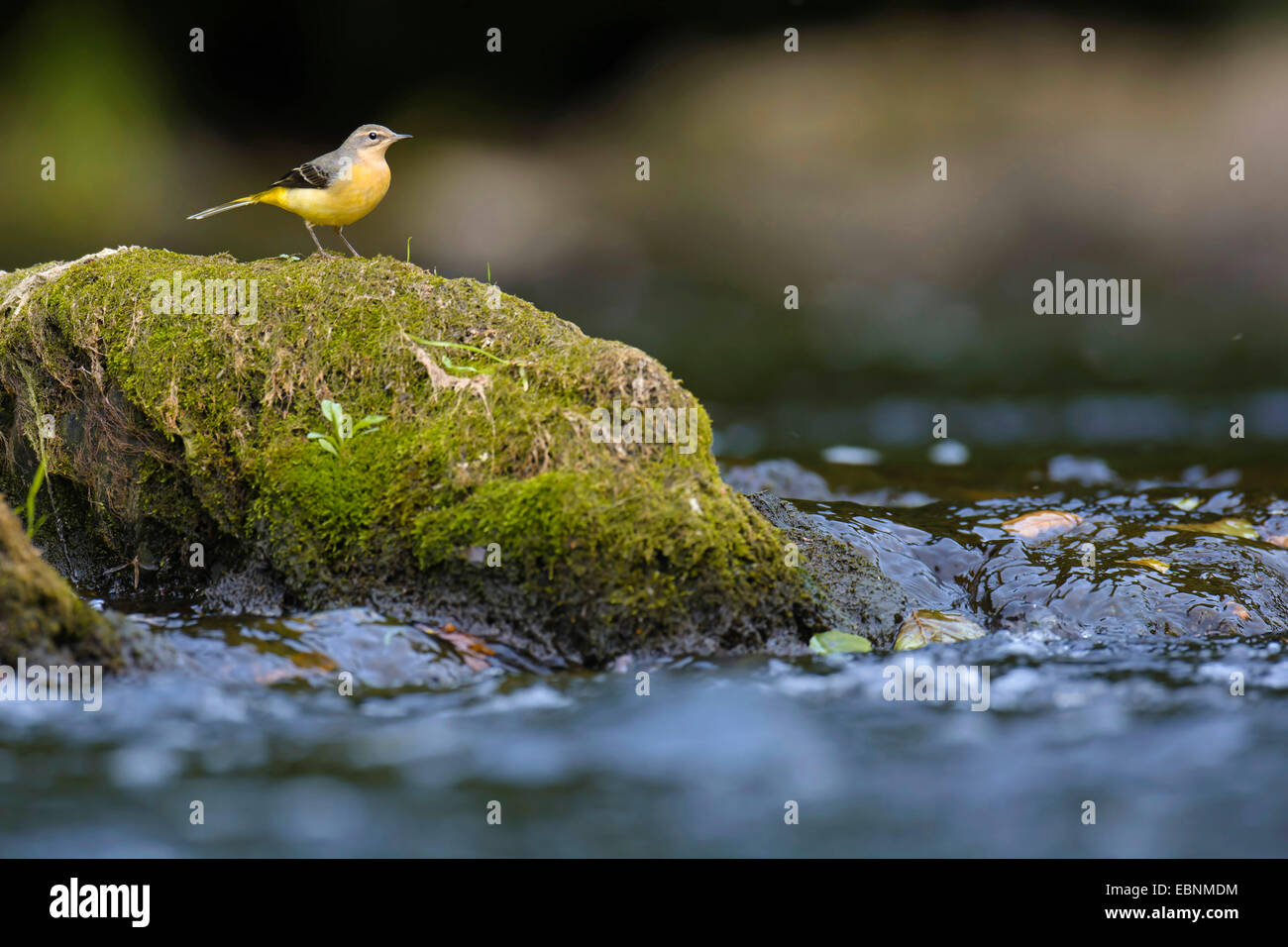 grey wagtail (Motacilla cinerea), on a mossy stone at a stretch of water, Germany, Rhineland-Palatinate, Sieg - Stock Image