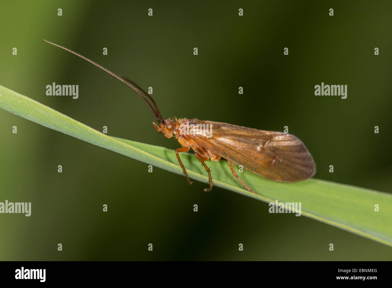 caddis flies (Trichoptera), caddis fly on blade of grass, Germany, Bavaria - Stock Image