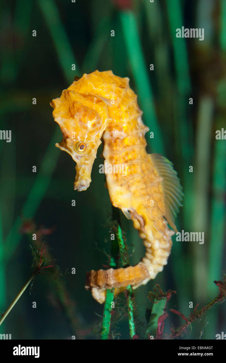 Short-snouted seahorse, Short snouted seahorse (Hippocampus hippocampus), holding on a water plant - Stock Image