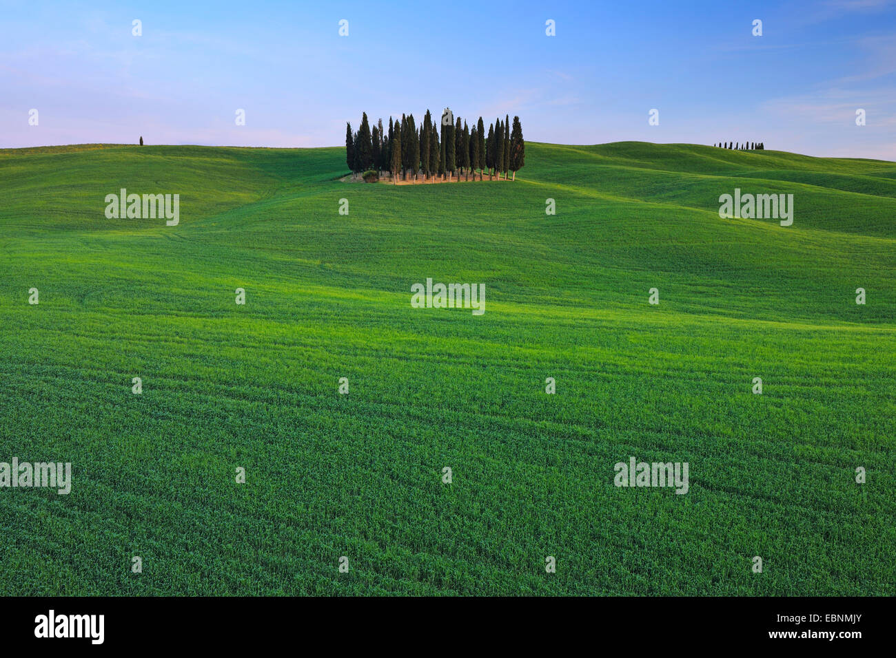 Italian cypress (Cupressus sempervirens), grove in a wide field landscape, Italy, Tuscany, Val d' Orcia, San - Stock Image