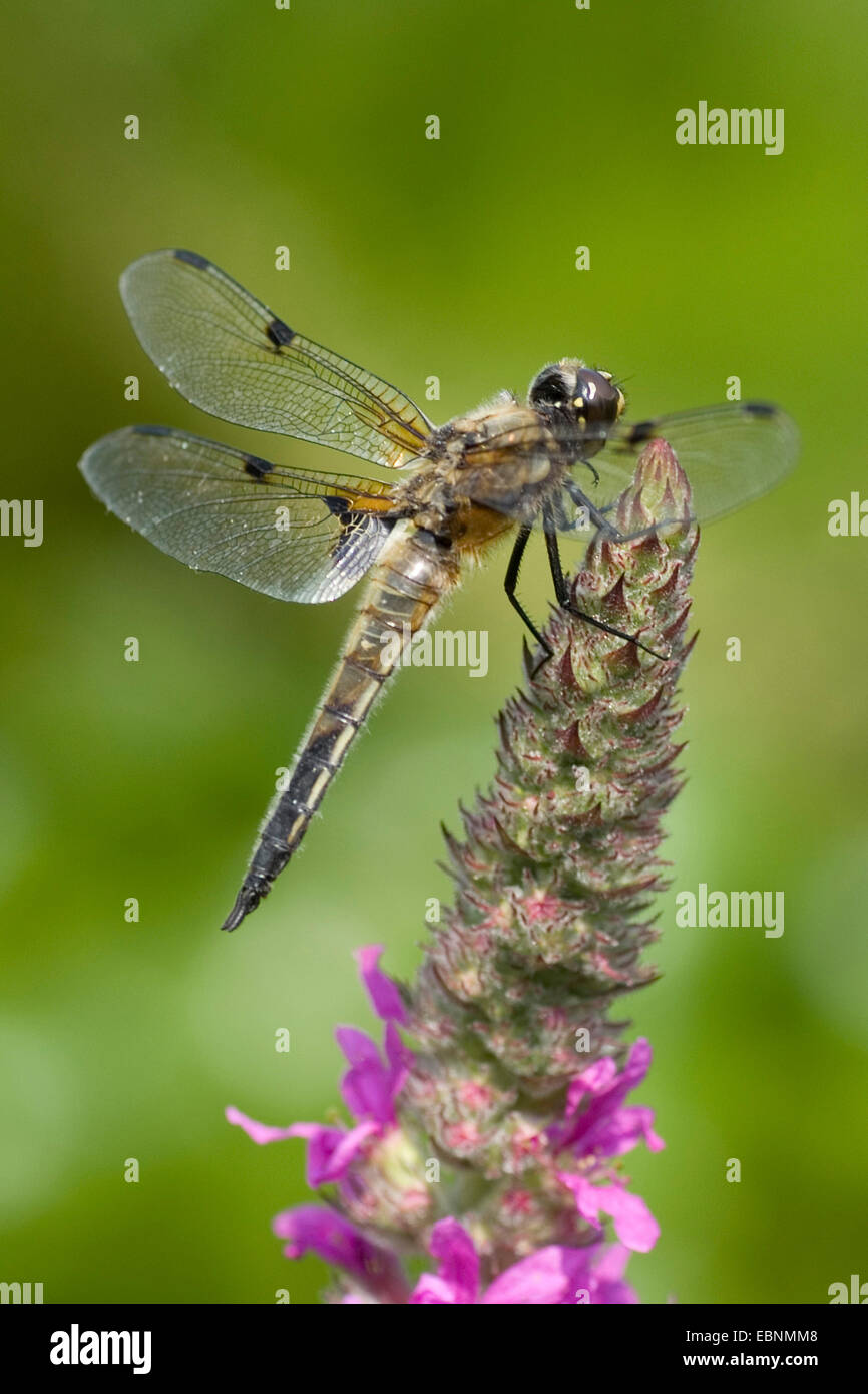 four-spotted libellula, four-spotted chaser, four spot (Libellula quadrimaculata), on purple loosestrife, Germany - Stock Image