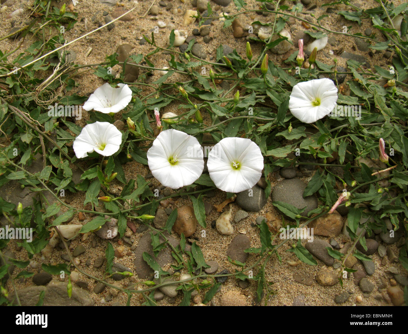 field bindweed, field morning-glory, small bindweed (Convolvulus arvensis), blooming, Germany - Stock Image