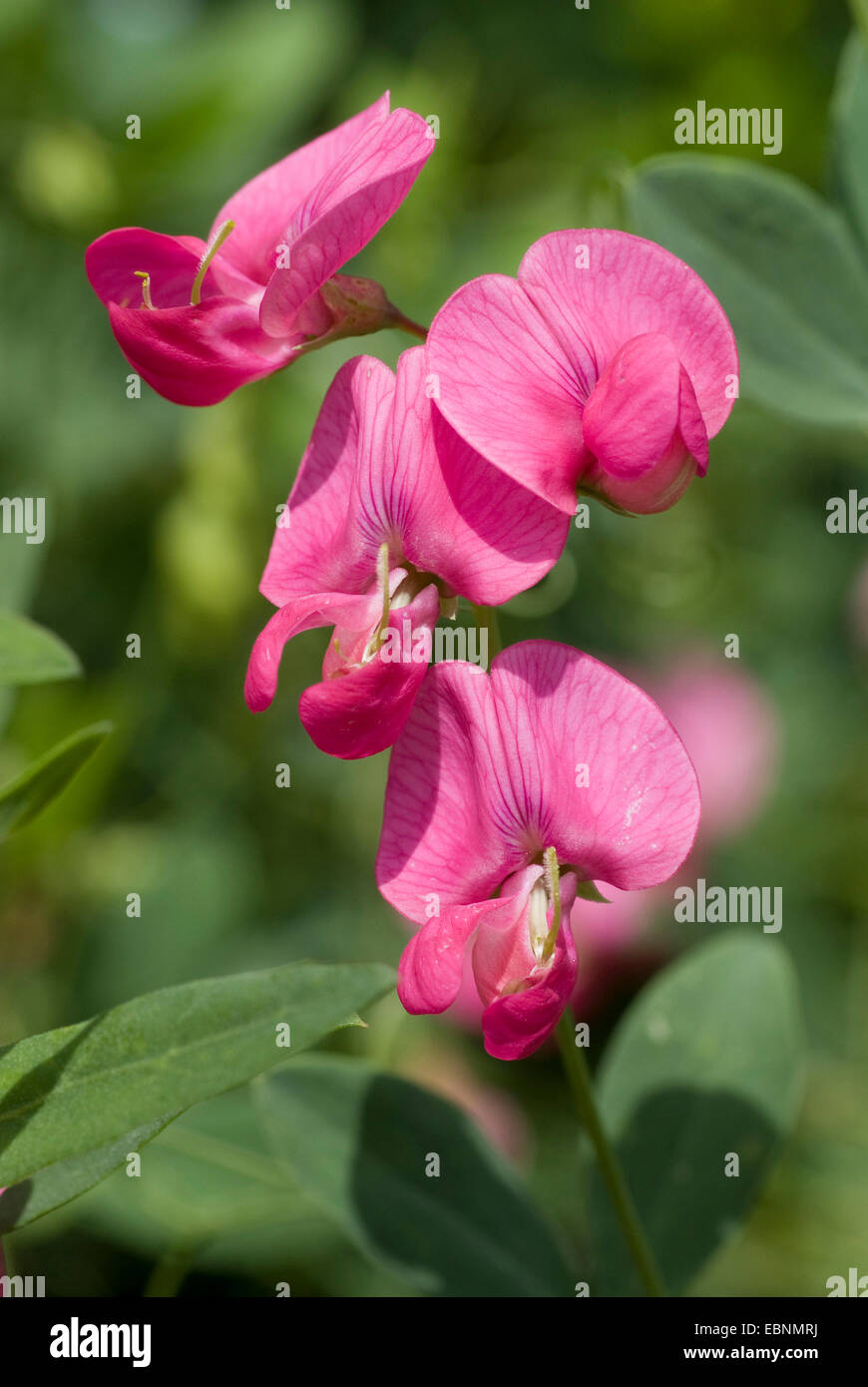 earth-nut peavine, tuberous vetchling, tuberous pea (Lathyrus tuberosus), blooming, Germany - Stock Image