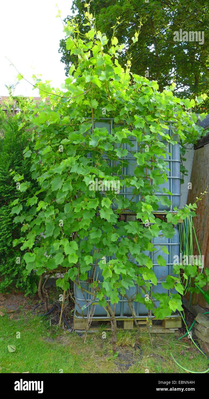 grape-vine, vine (Vitis vinifera), grape-vine entwining around water containers, Germany Stock Photo