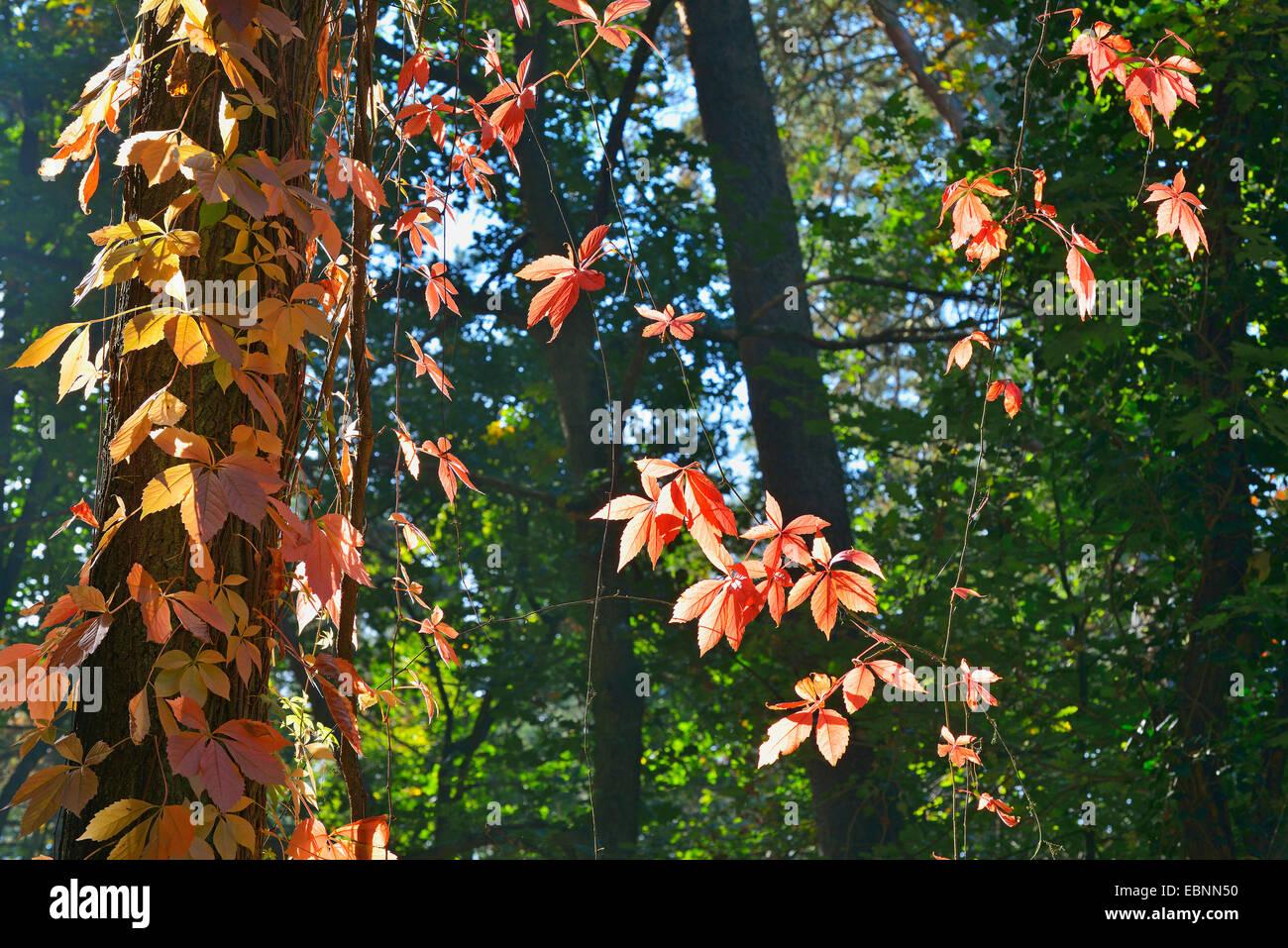 false Virginia-creeper (Parthenocissus inserta, Parthenocissus quinquefolia agg.), in autumn, Germany, Bavaria, - Stock Image
