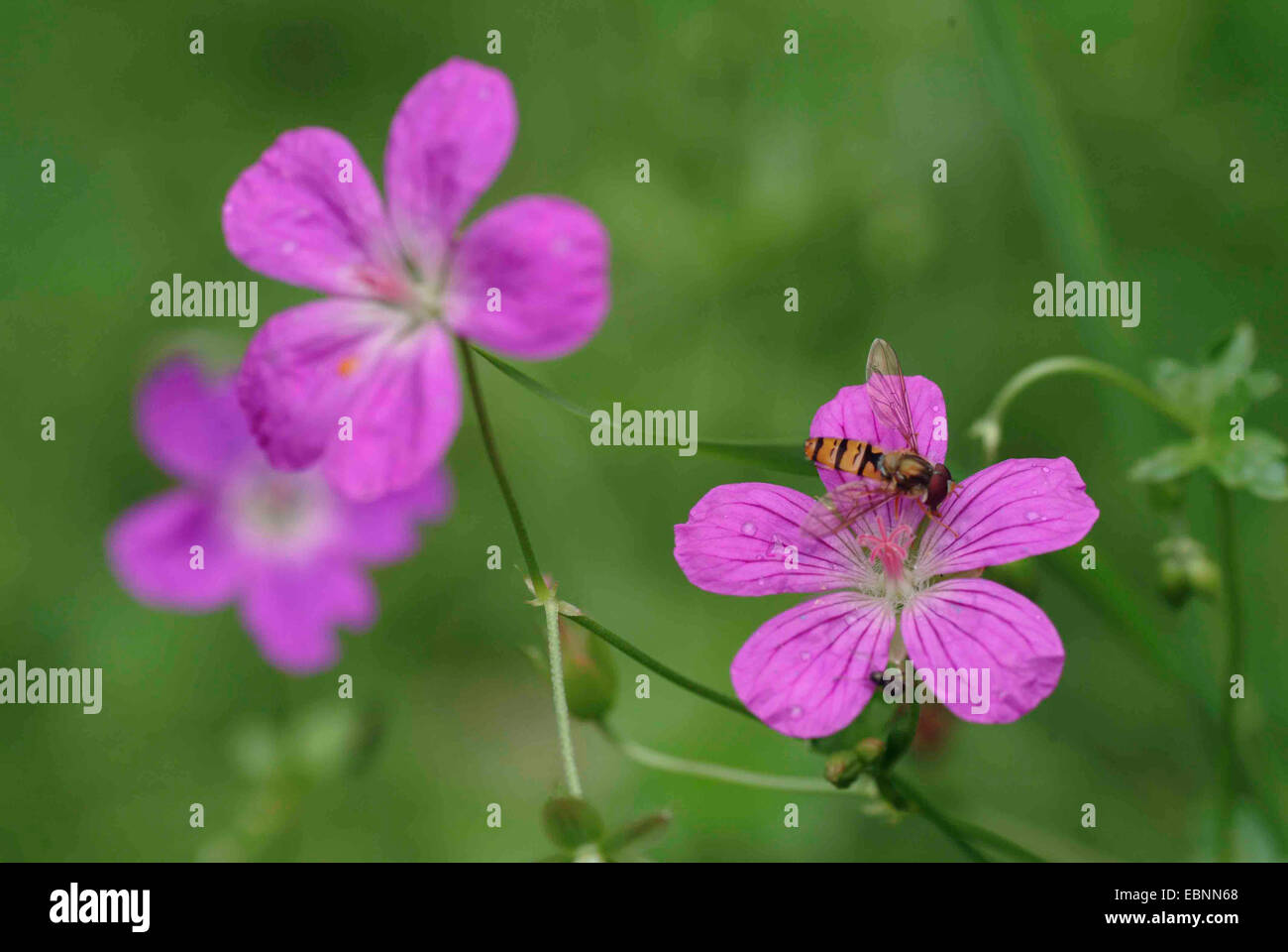 marsh cranesbill (Geranium palustre), flowers with hoverfly, Germany - Stock Image