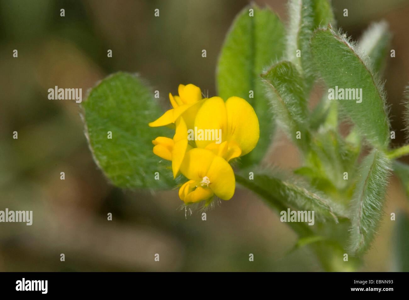 Bur medick, Little burclover (Medicago minima), blooming, Germany - Stock Image