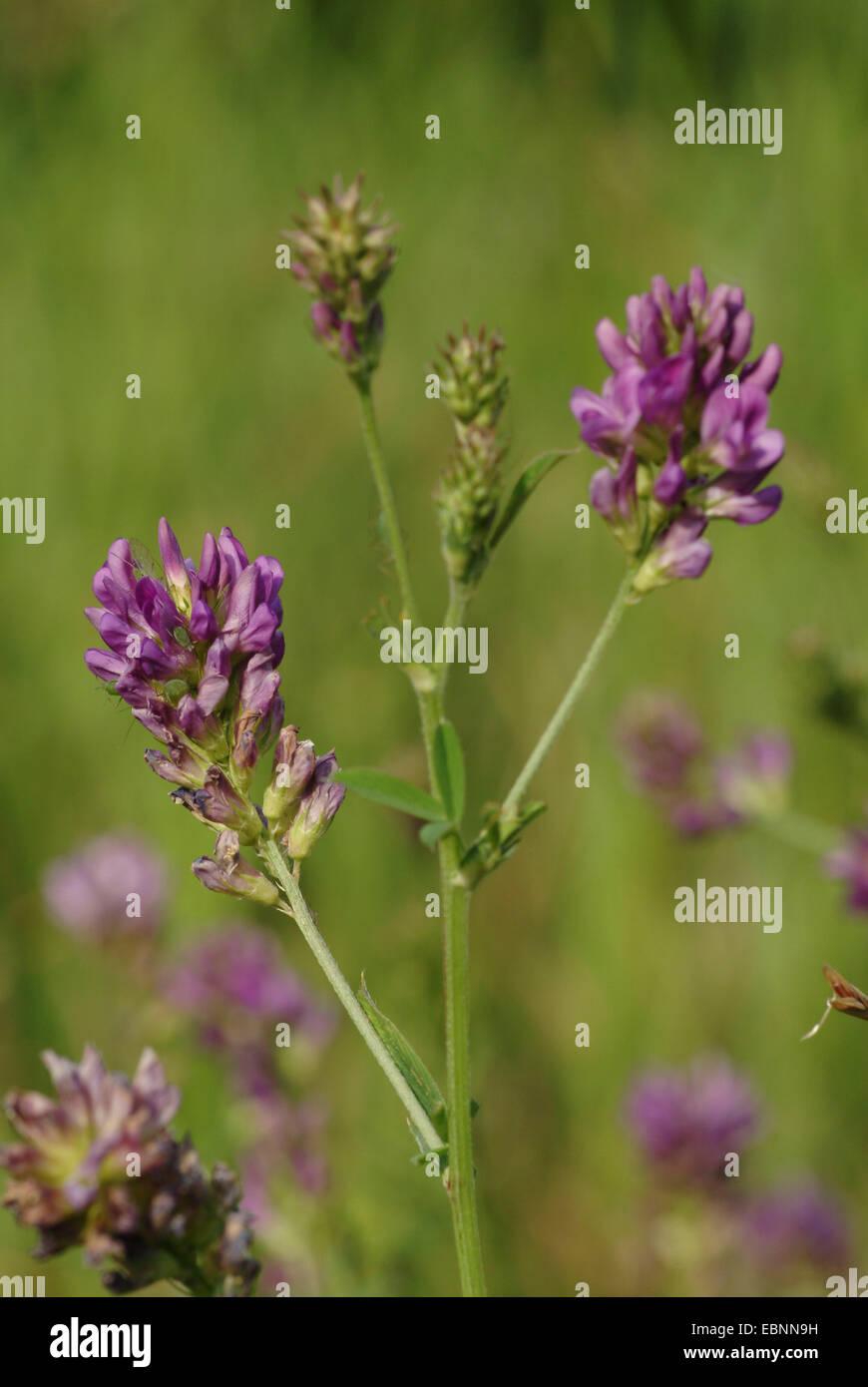 alfalfa, lucerne (Medicago sativa agg., Medicago x varia, Medicago varia), blooming - Stock Image