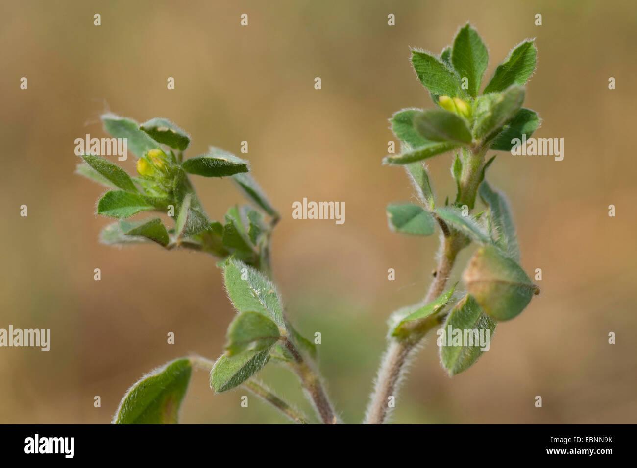 Bur medick, Little burclover (Medicago minima), in bud, Germany - Stock Image