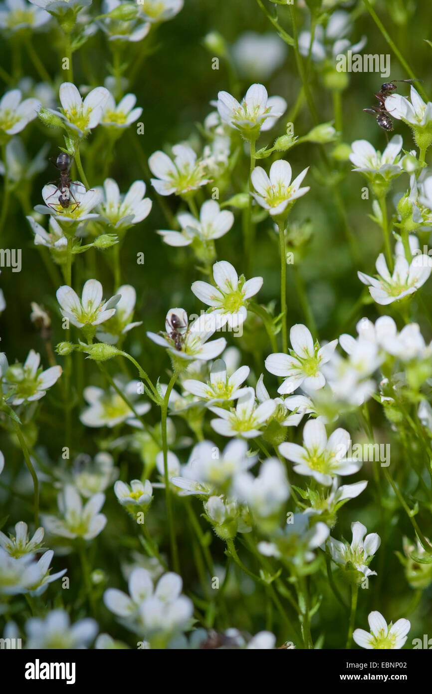 Slender saxifrage (Saxifraga tenella), blooming with ants, Austria - Stock Image