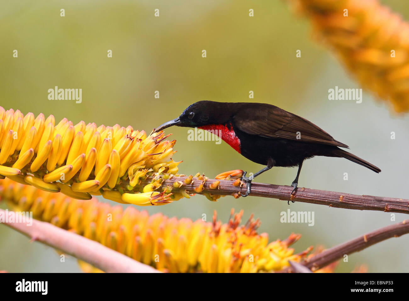 Scarlet-chested sunbird (Nectarinia senegalensis, Chalcomitra senegalensis), searches for food on an aloe, South - Stock Image