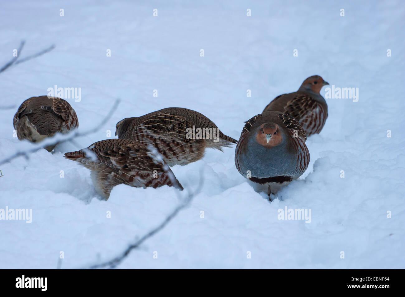 grey partridge (Perdix perdix), grey partridges on the feed in snow, Germany, Bavaria, Bavarian Forest National - Stock Image