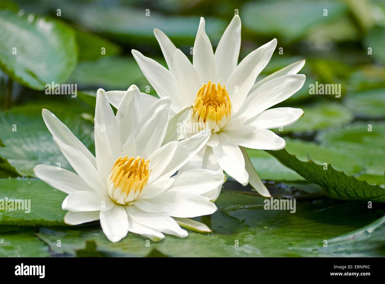 Egyptian Lotus Stock Photos Egyptian Lotus Stock Images Alamy