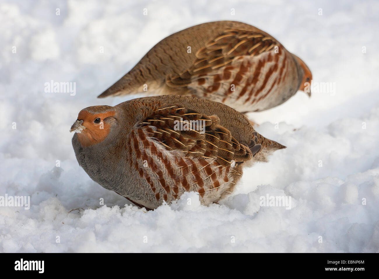 grey partridge (Perdix perdix), two partridges on the feed in snow, Germany, Bavaria, Bavarian Forest National Park - Stock Image
