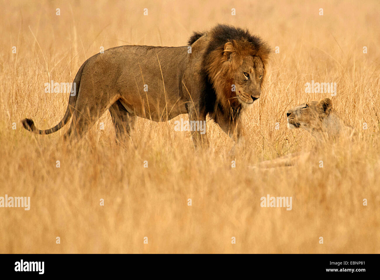 lion (Panthera leo), male and female together in the savannah, Uganda, Queen Elizabeth National Park Stock Photo