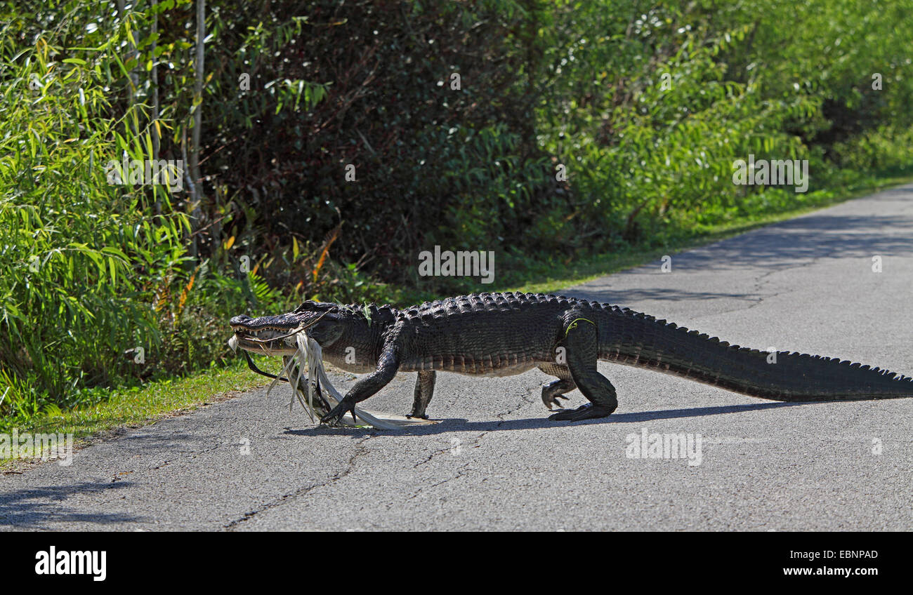 American alligator (Alligator mississippiensis), alligator going over a footpath with a heron in the mouth, USA, - Stock Image