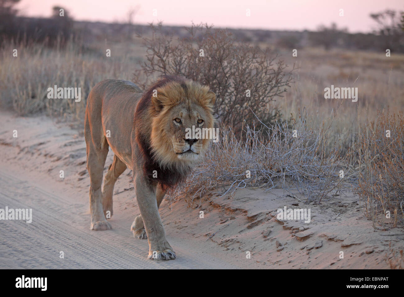 lion (Panthera leo), male walking on a sand track before sunrise, South Africa, Kgalagadi Transfrontier National - Stock Image