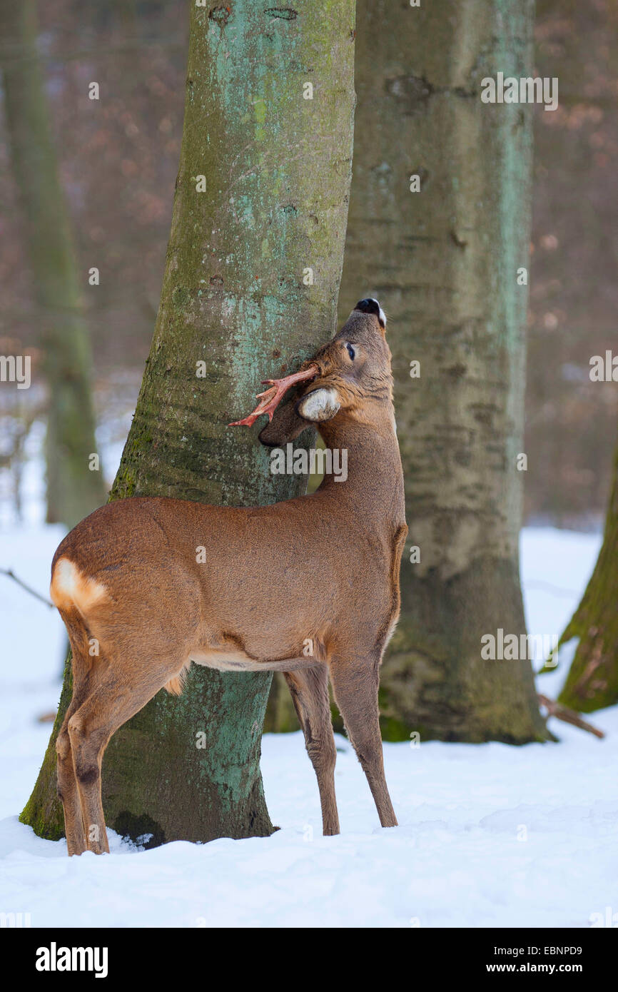 roe deer (Capreolus capreolus), roebuck rubbing off the velvet at a tree trunk, Germany - Stock Image