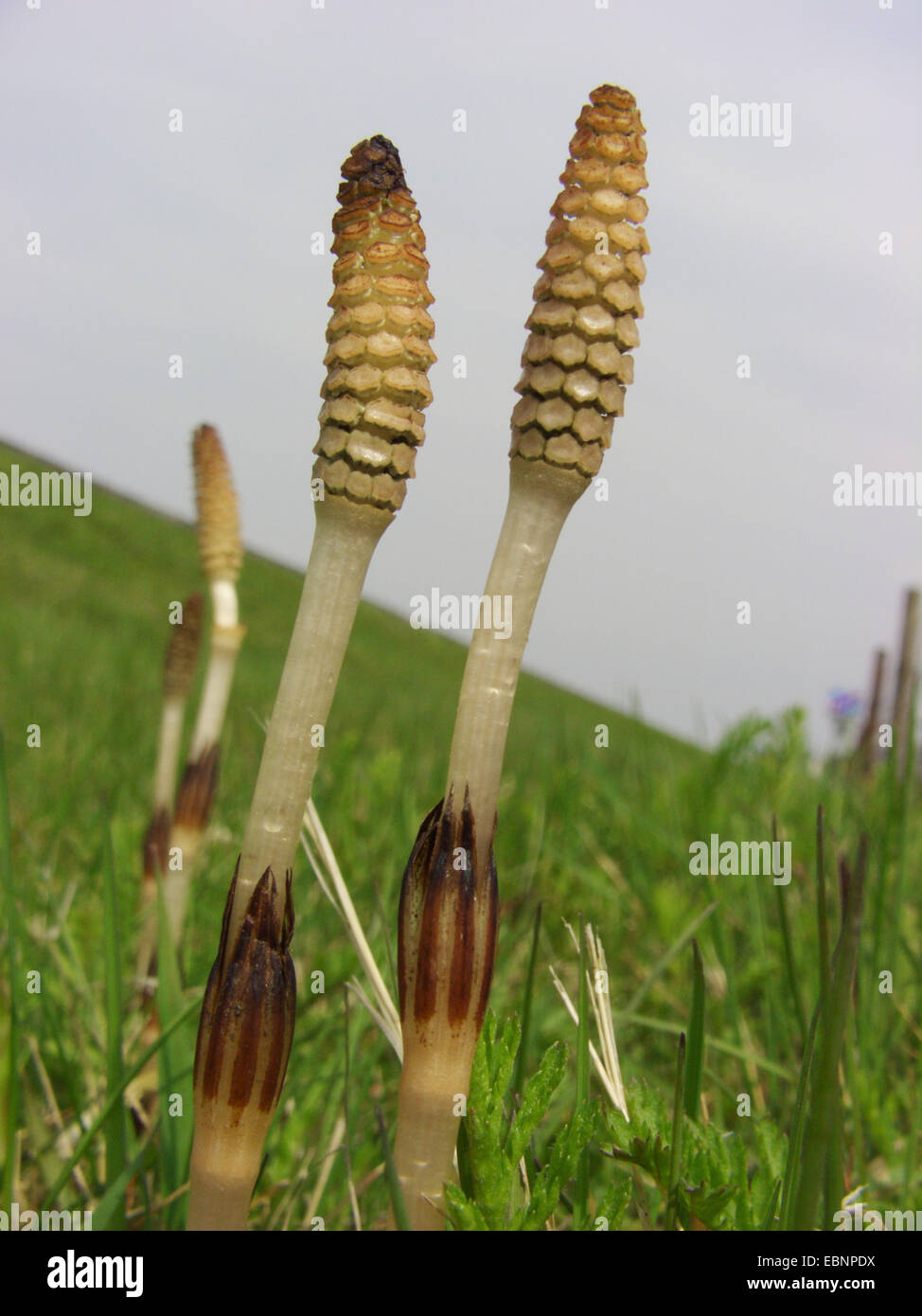 field horsetail (Equisetum arvense), flowering plants on a meadow, Germany Stock Photo