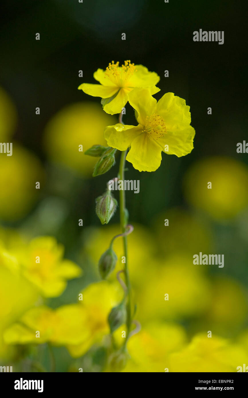 common rock-rose (Helianthemum grandiflorum, Helianthemum nummularium ssp. grandiflorum), inflorescence, Germany - Stock Image
