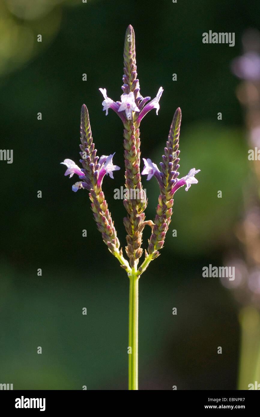 Jagged Lavender,Fern Leaf Lavender  (Lavandula pinnata var. buchii), inflorescence - Stock Image
