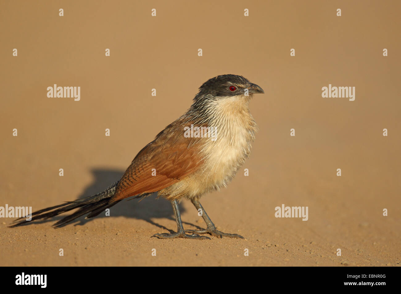 Burchell's coucal (Centropus burchellii), stands on the ground, South Africa, Pilanesberg National Park - Stock Image