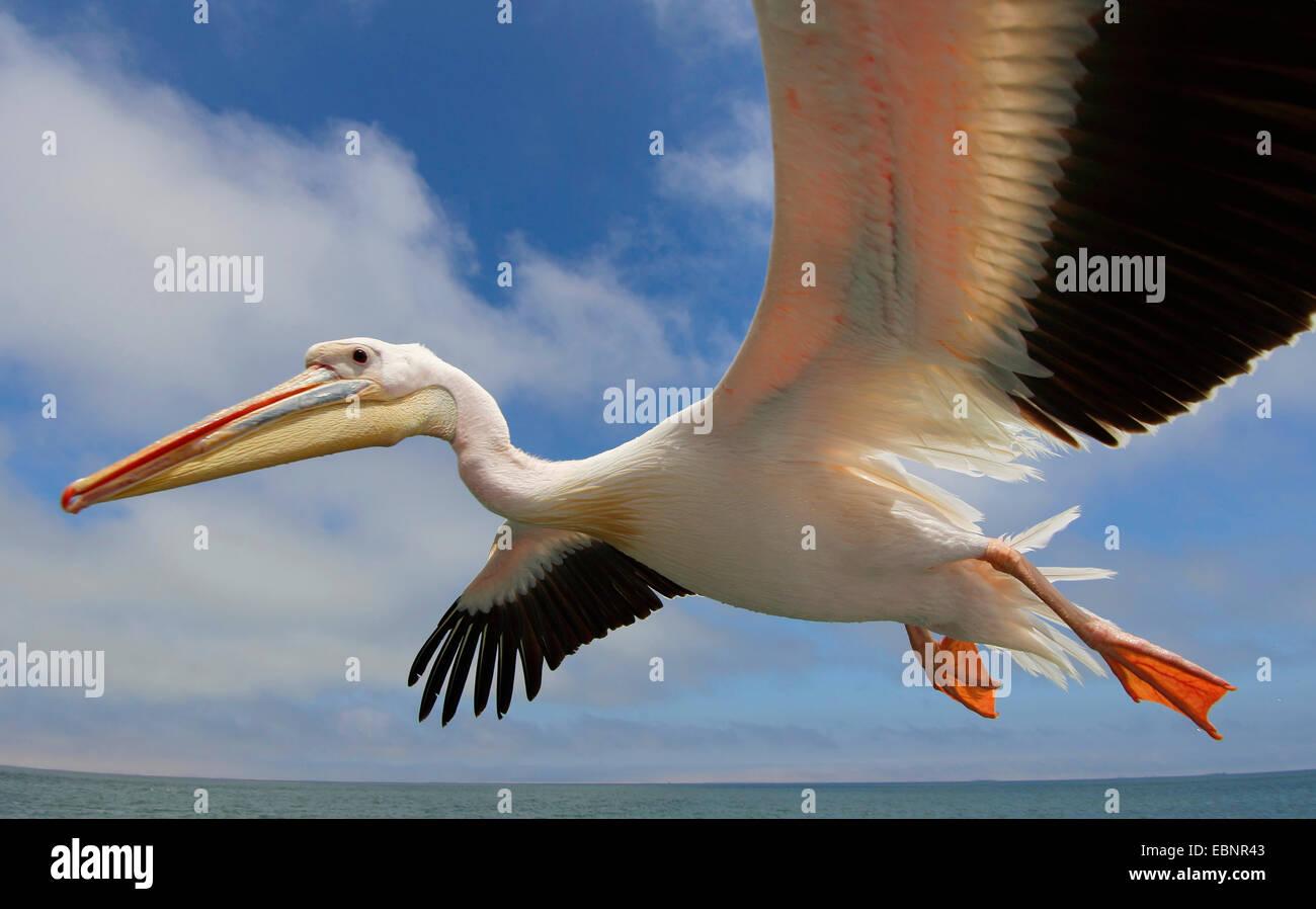 eastern white pelican (Pelecanus onocrotalus), flying, Namibia, Walvis Bay Stock Photo