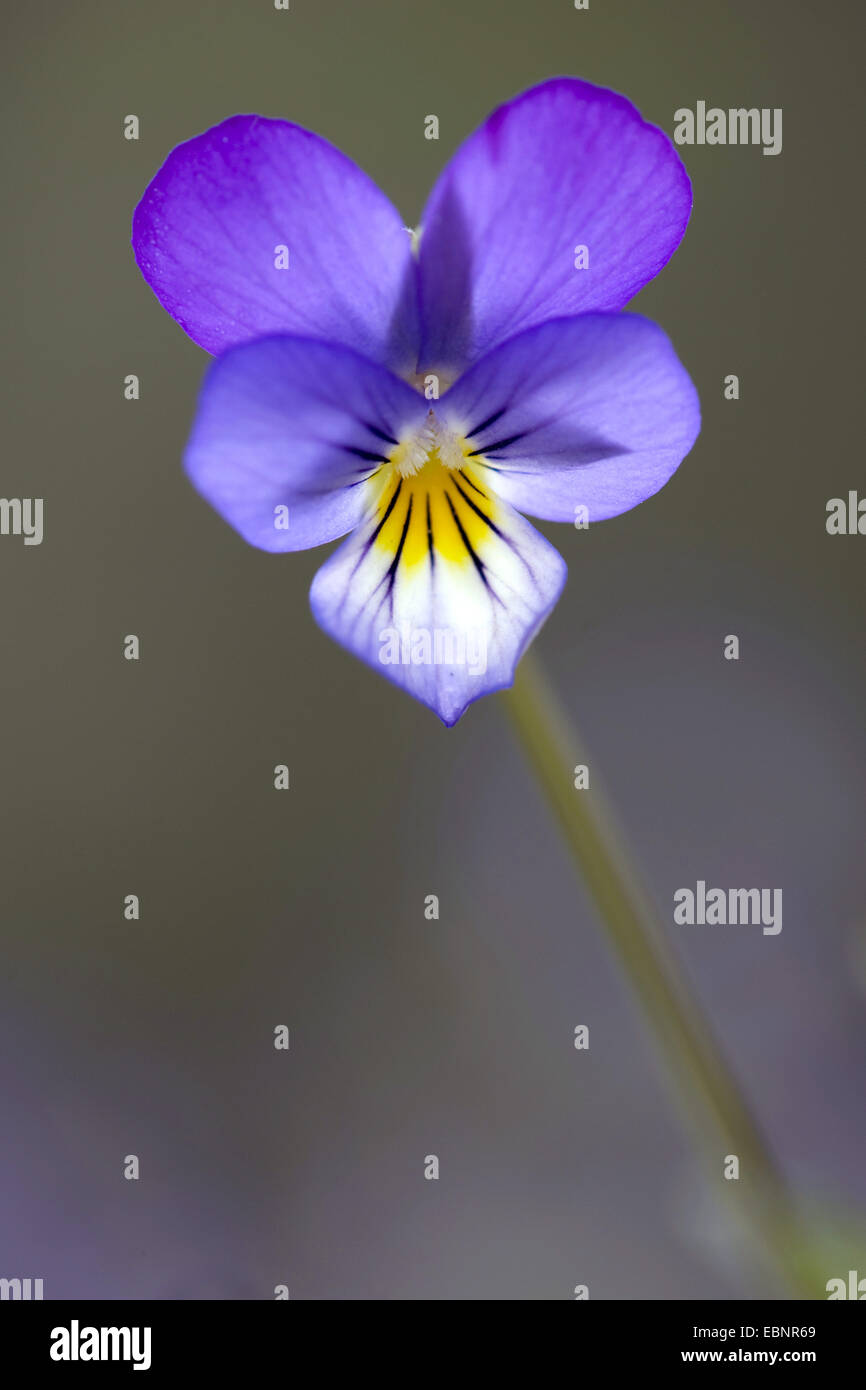 heart's ease, heartsease, wild pansy, three colored violet (Viola tricolor), flower, Germany - Stock Image