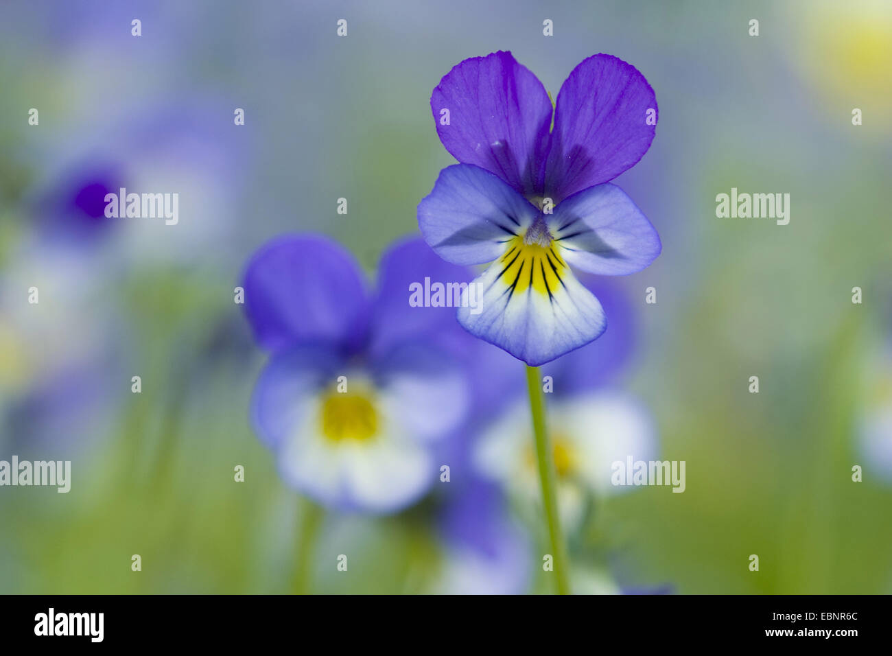 heart's ease, heartsease, wild pansy, three colored violet (Viola tricolor), flowers, Germany - Stock Image